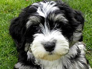 cão havanese branco e preto