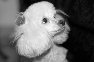 foto poodle preta e branca