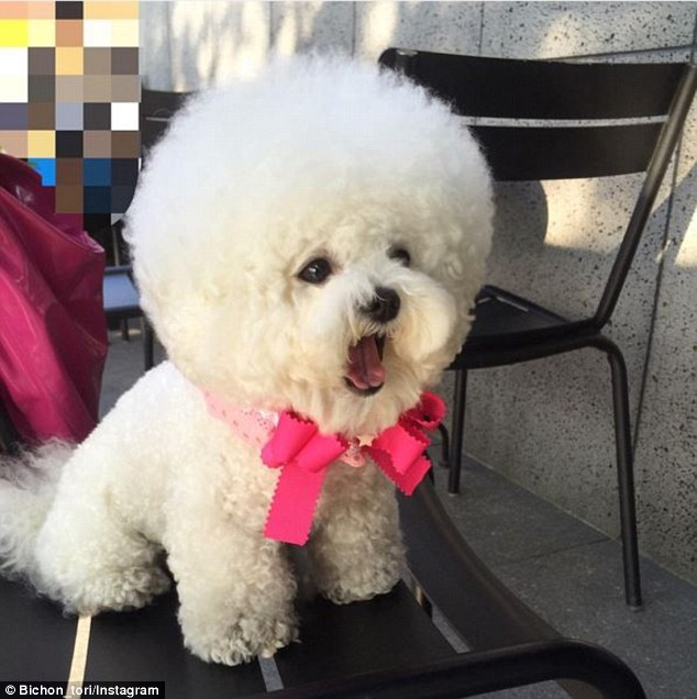 35c5321100000578-3665203-adorable_tori_the_bichon_frise_has_a_large_following_on_instagra-a-12_1467178087235