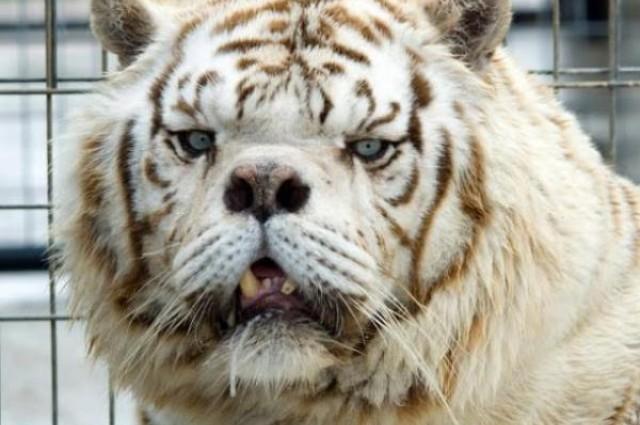 tigre com down