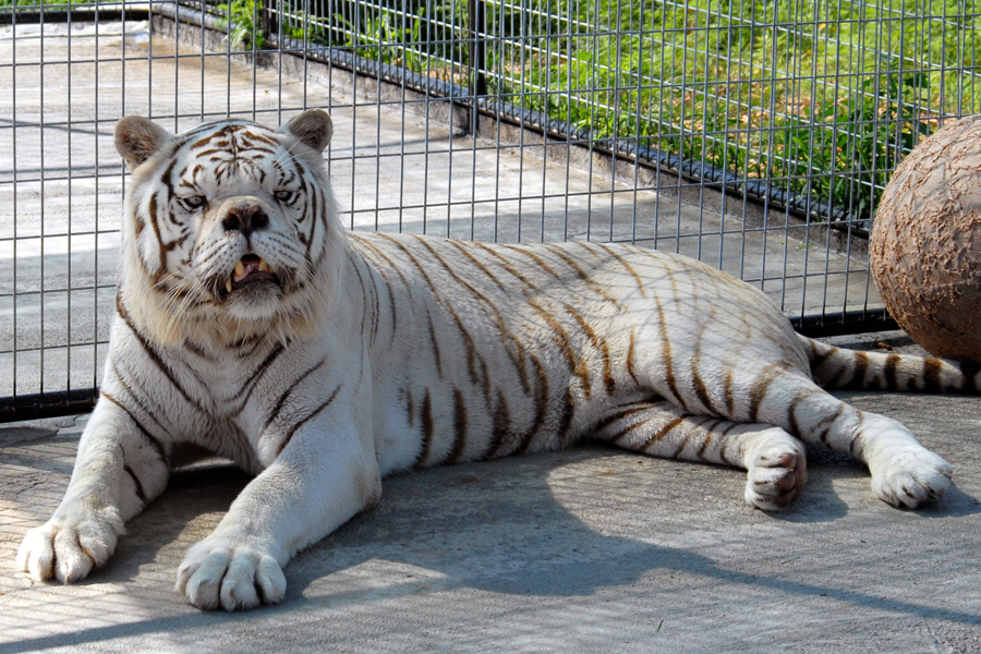 kenny-the-white-tiger1